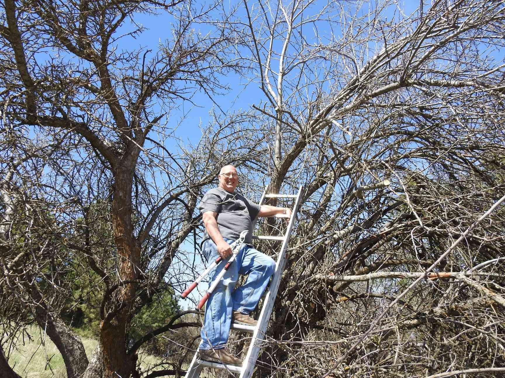 older man climbs ladder to prune apple tree