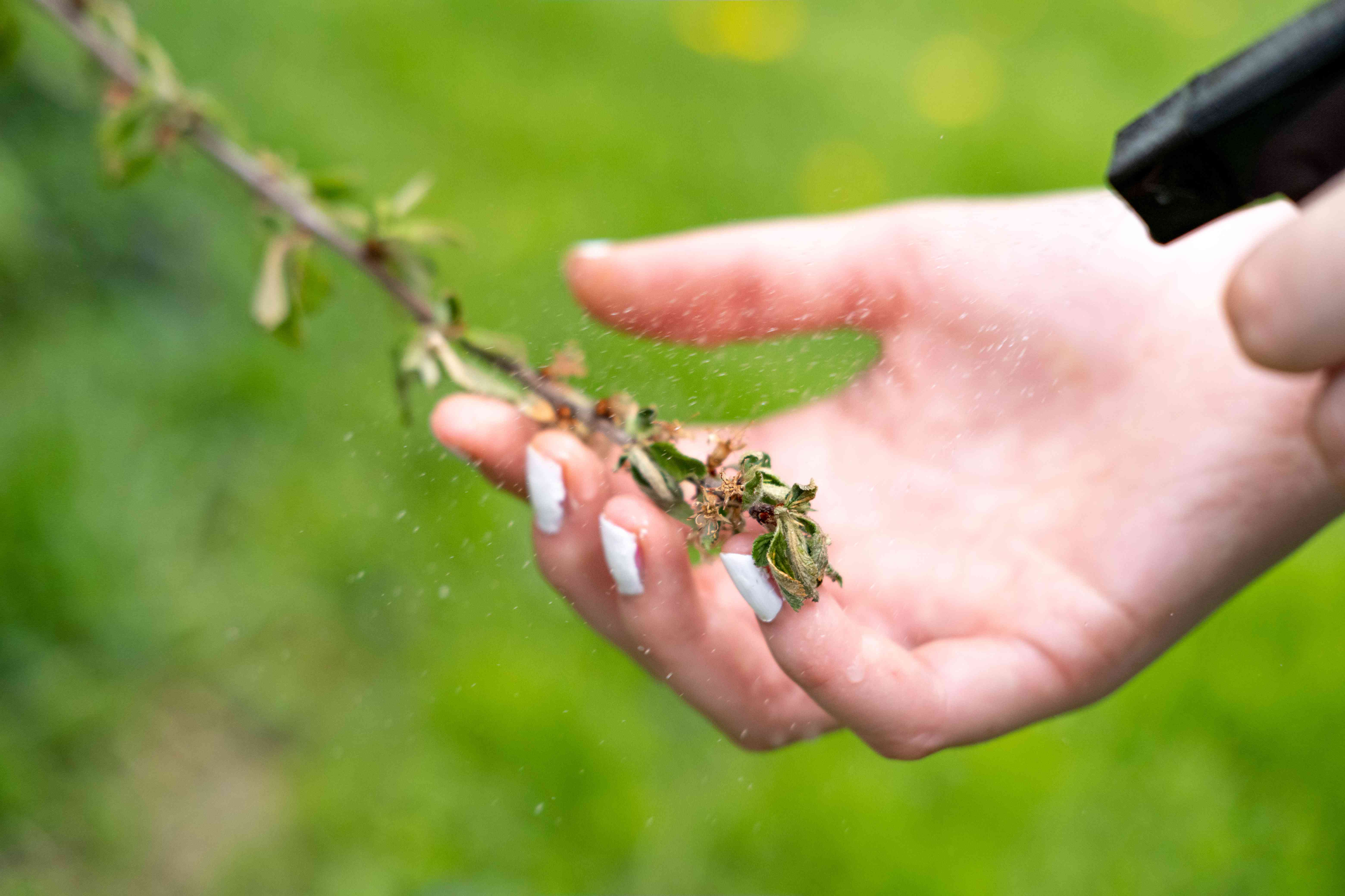 hand holds old yellowing tree branch and spritzes water on it