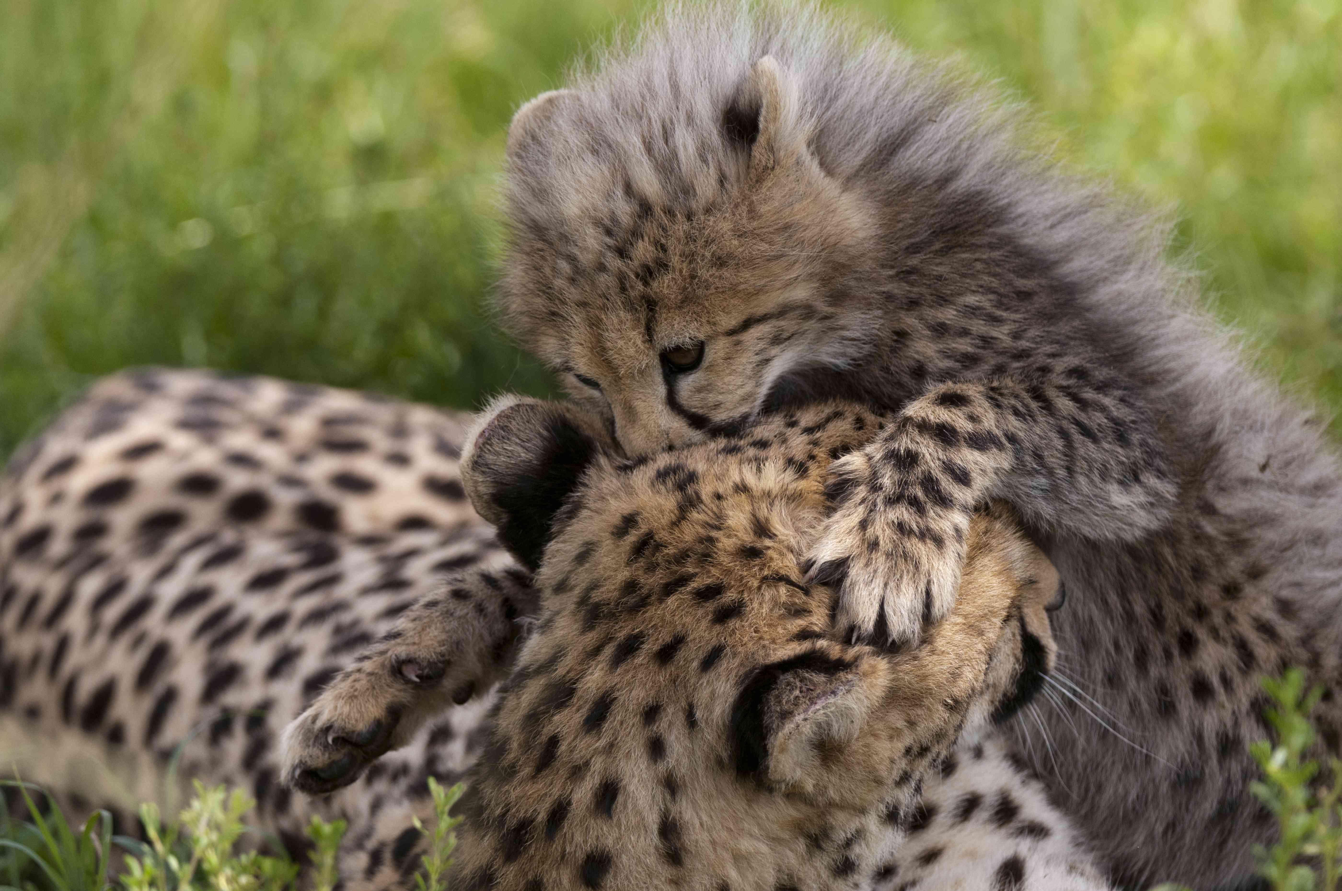 Cheetah (Acynonix jubatus) and cub, Masai Mara National Reserve, Kenya