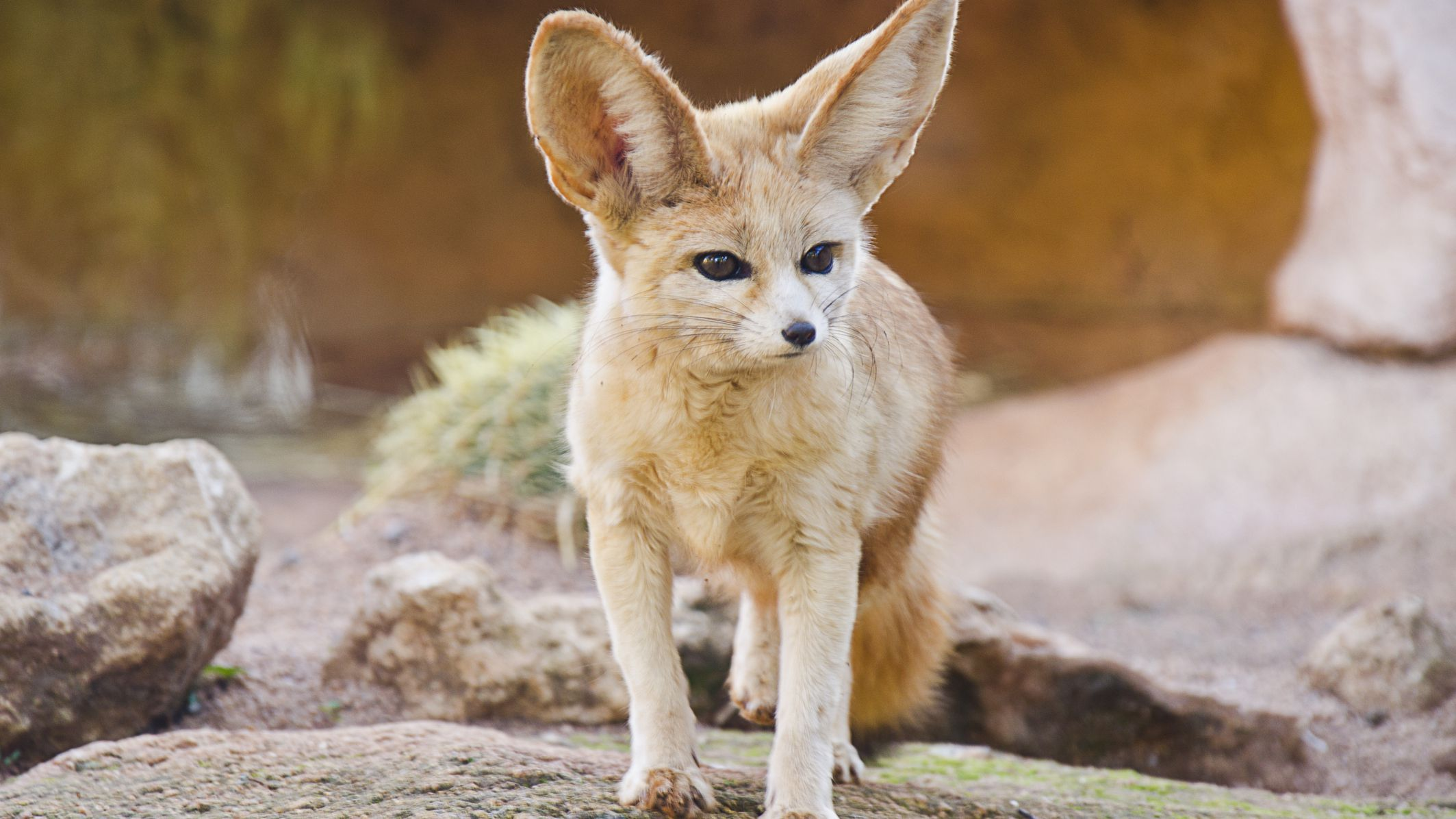 8 Fun Facts About the Fennec Fox