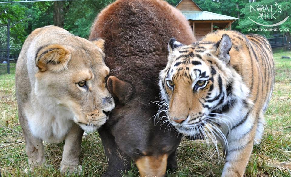 baloo, leo and shere khan bear lion and tiger