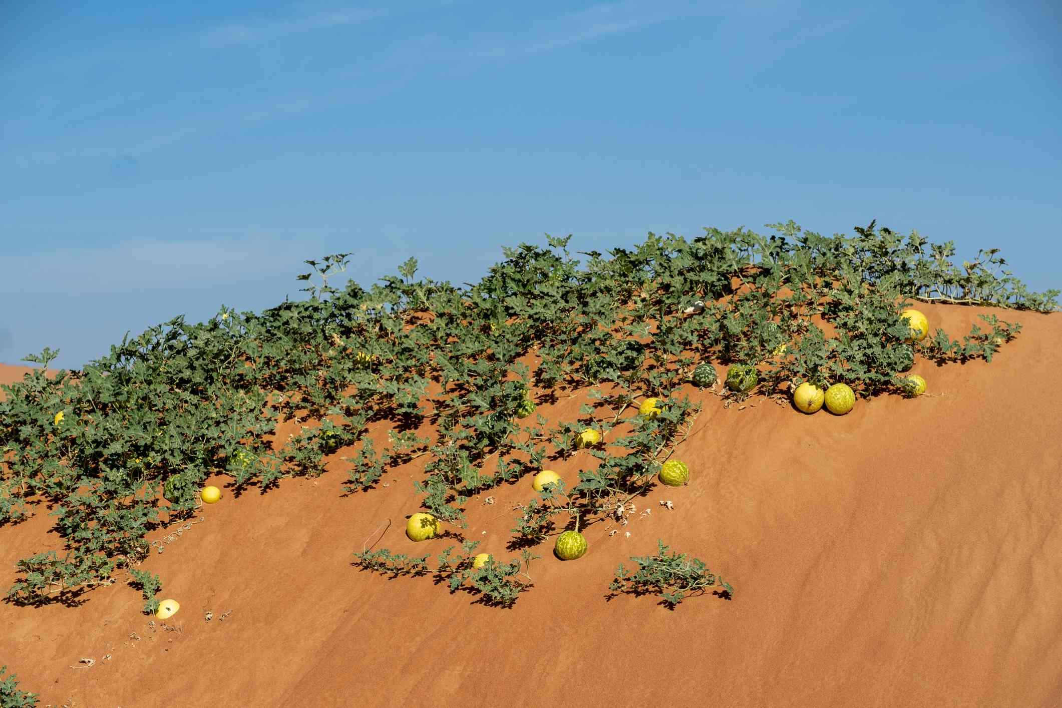 Desert Gourd (Citrullus colocynthis)