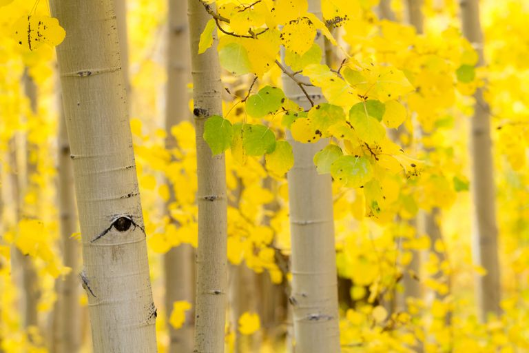 The trunk and yellow leaves of an Aspen in a forest.