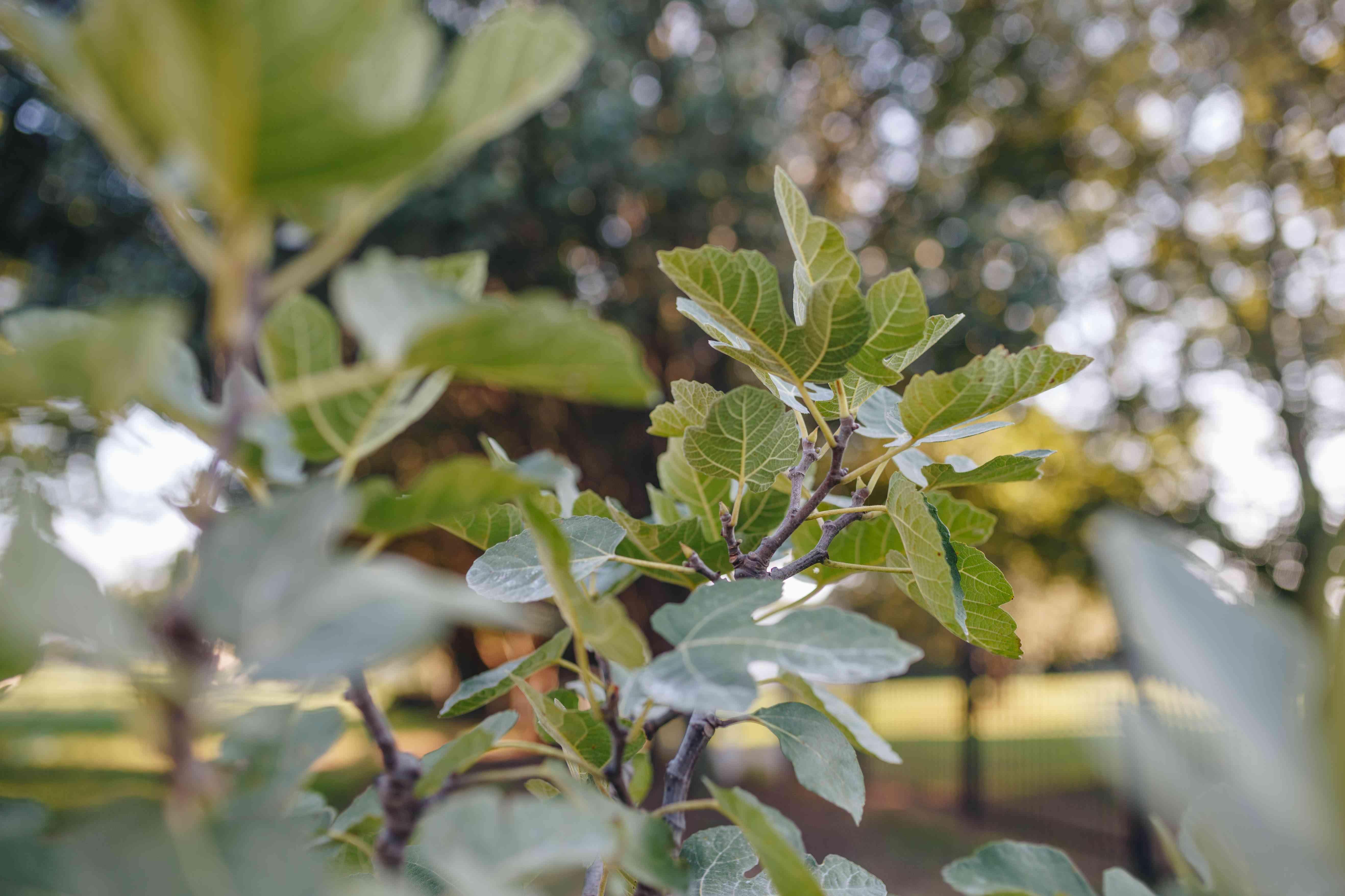 A close-up shot of fig tree limbs.
