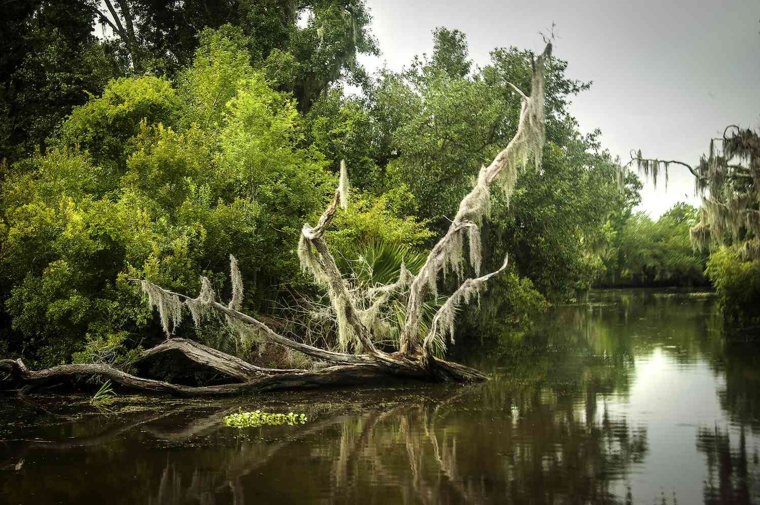 A moss-covered tree in a swamp at Barataria Preserve.