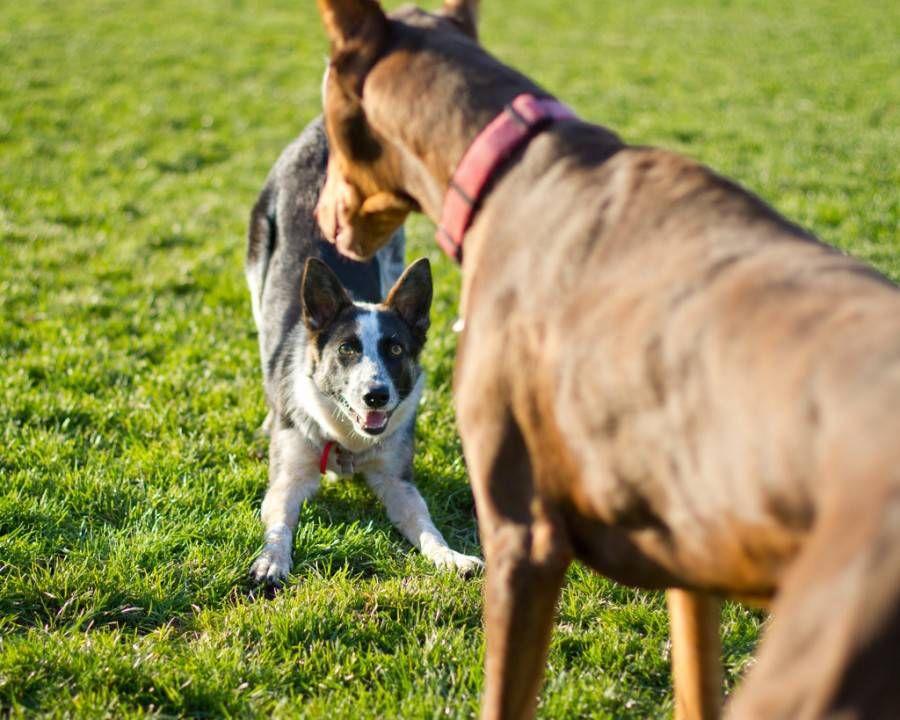 dogs' social cues