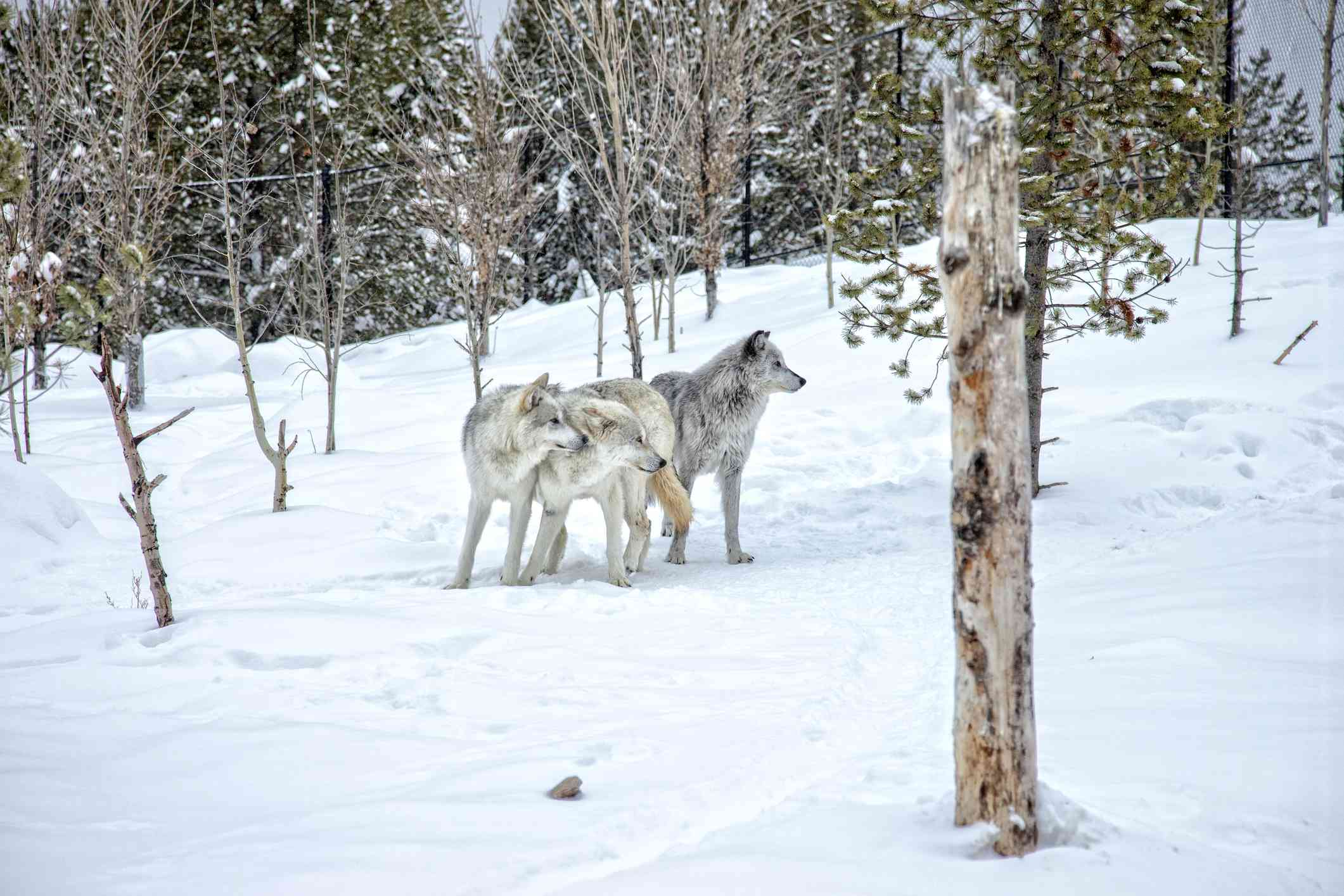 A group of gray wolves in Yellowstone National Park, Montana.