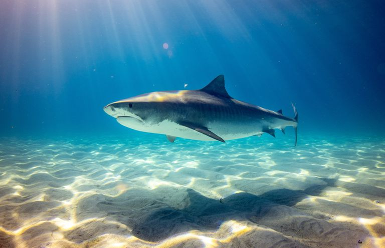 Shark swimming as sunlight shines through the water
