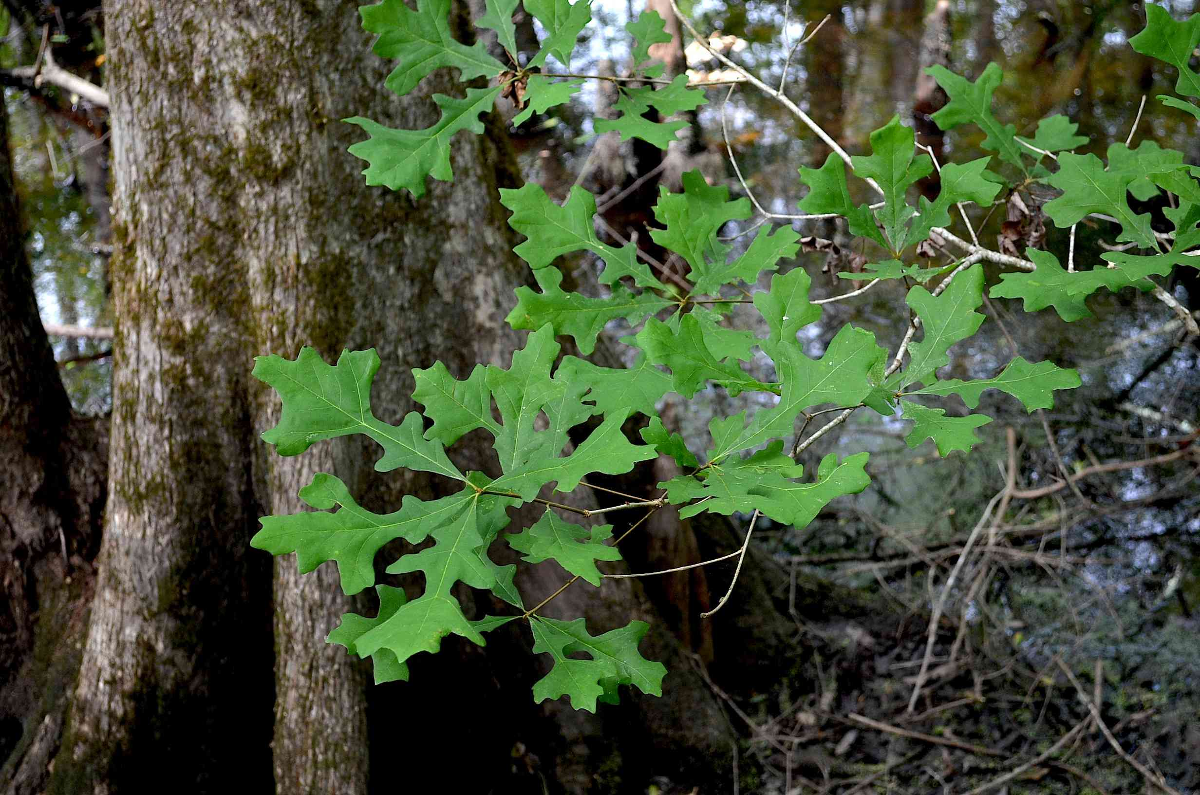 Green leaves of an Overcup Oak Tree in a swamp.