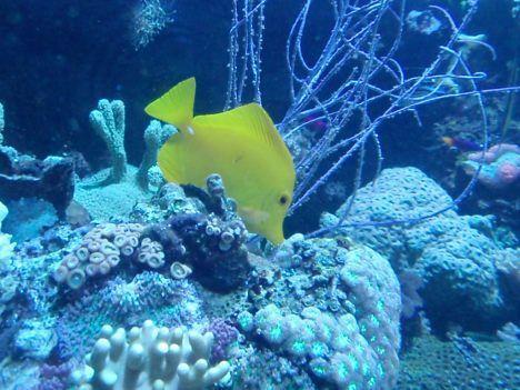 Agua caliente y efecto El Niño que matan a los peces jóvenes de los arrecifes de coral