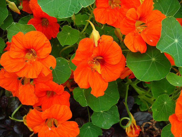 nasturtium, plants that repel insects