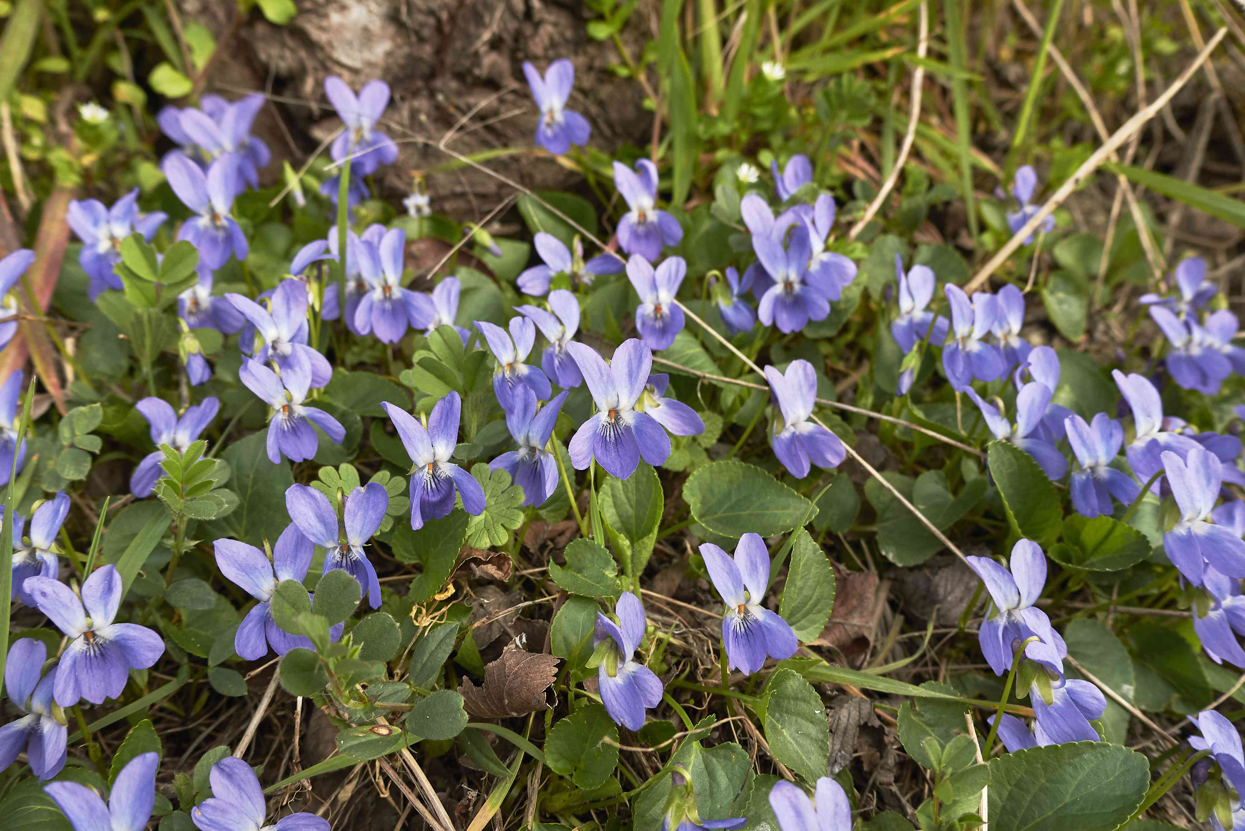 Violet flowers covering the forest floor