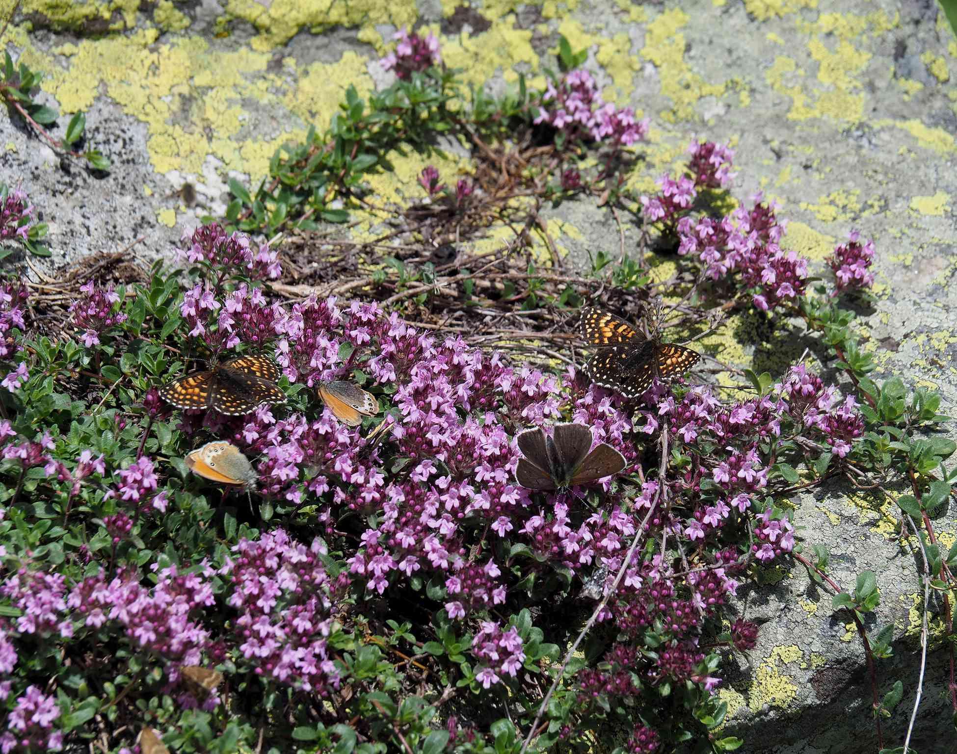 Thymus serpyllum and Butterflies
