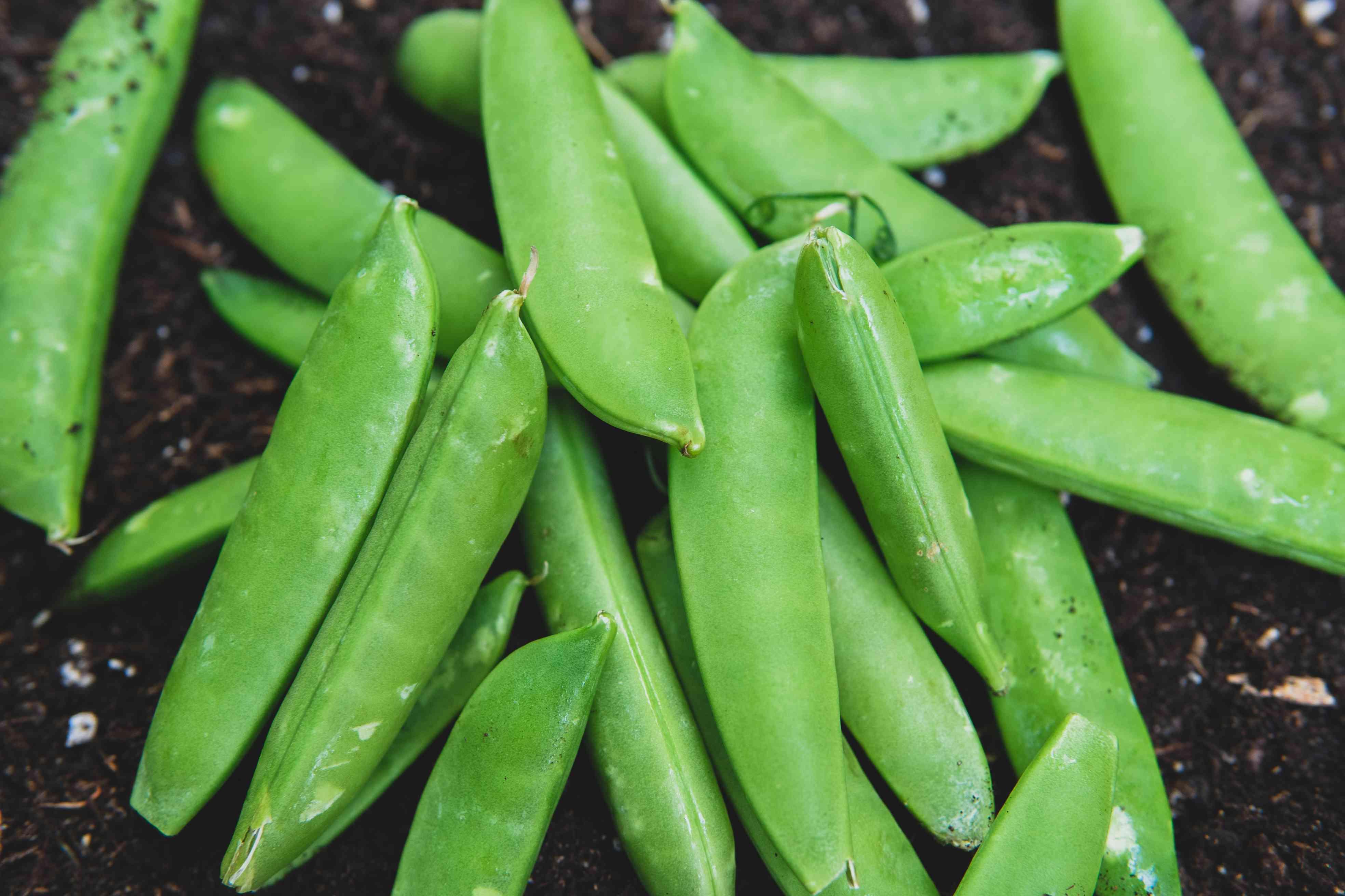 bright green sugar snap peas on black dirt