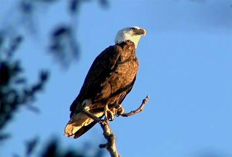 bald eagle outside zoo photo