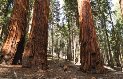 A person walking among giant sequoias in California.