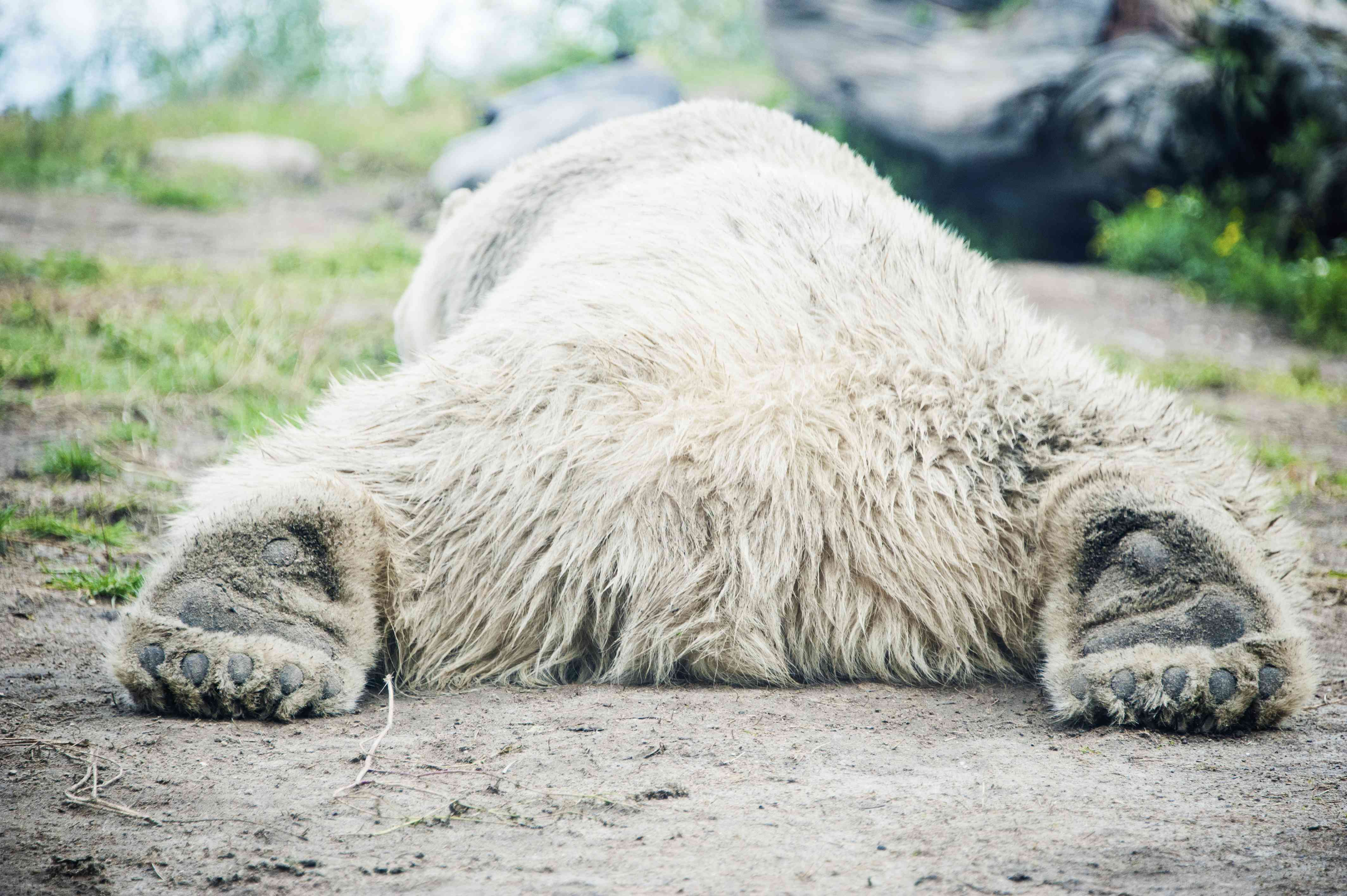 huge polar bear sprawled on ground