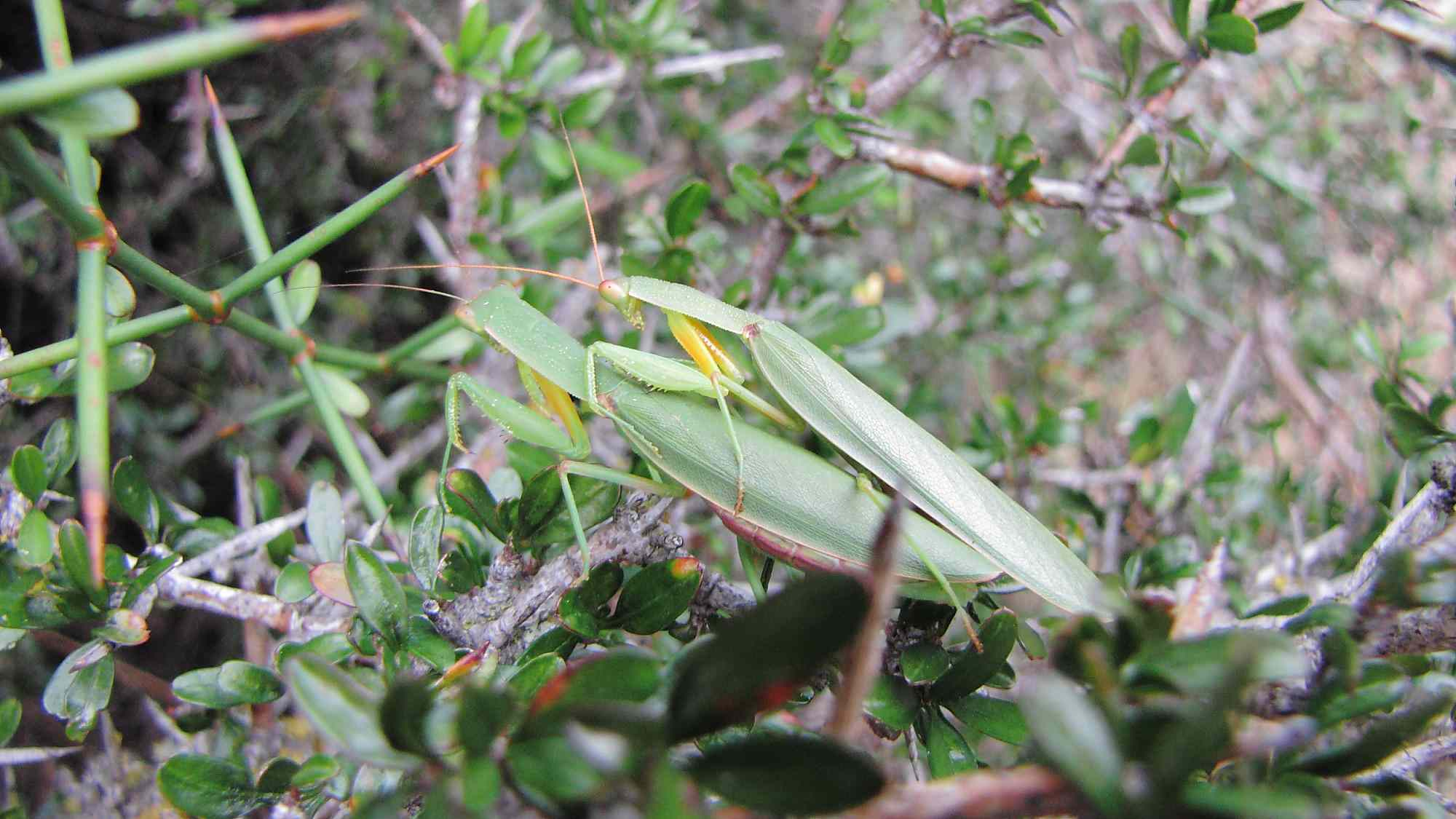 praying mantises mating in thick shrubbery