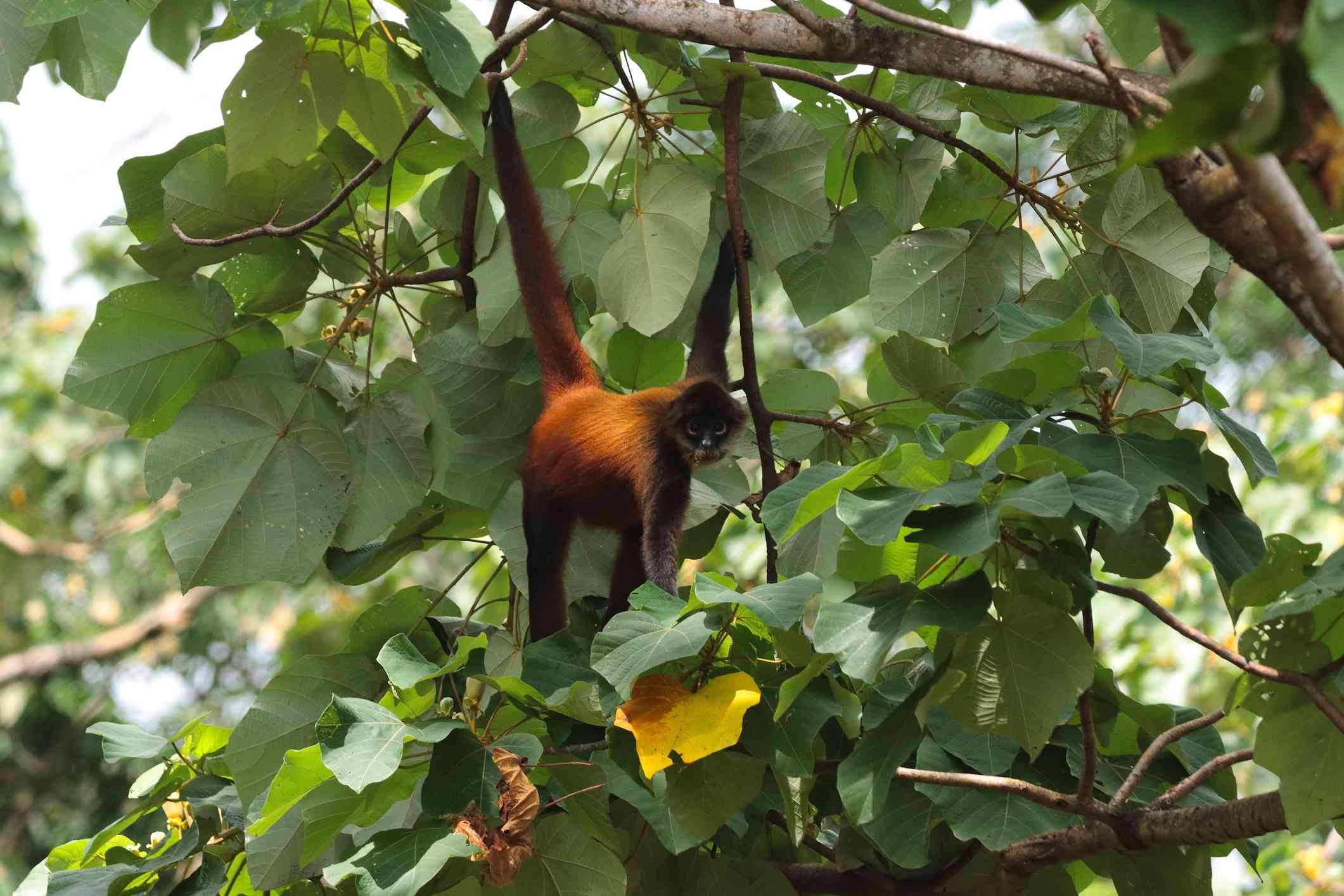 spider monkey hanging by its tail and eating fruit