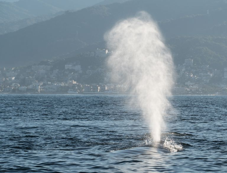 A humpback whale spouts off the coast of Mexico.
