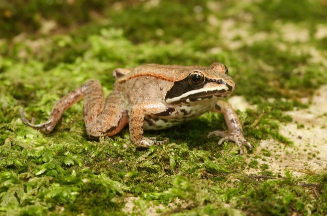 A brown wood frog on a green mossy rock.