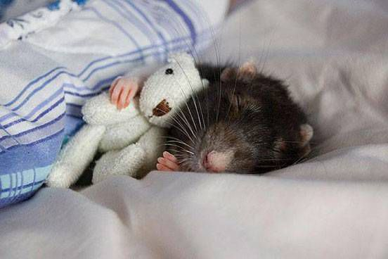 A rat curls up with a teddy bear and a blanket