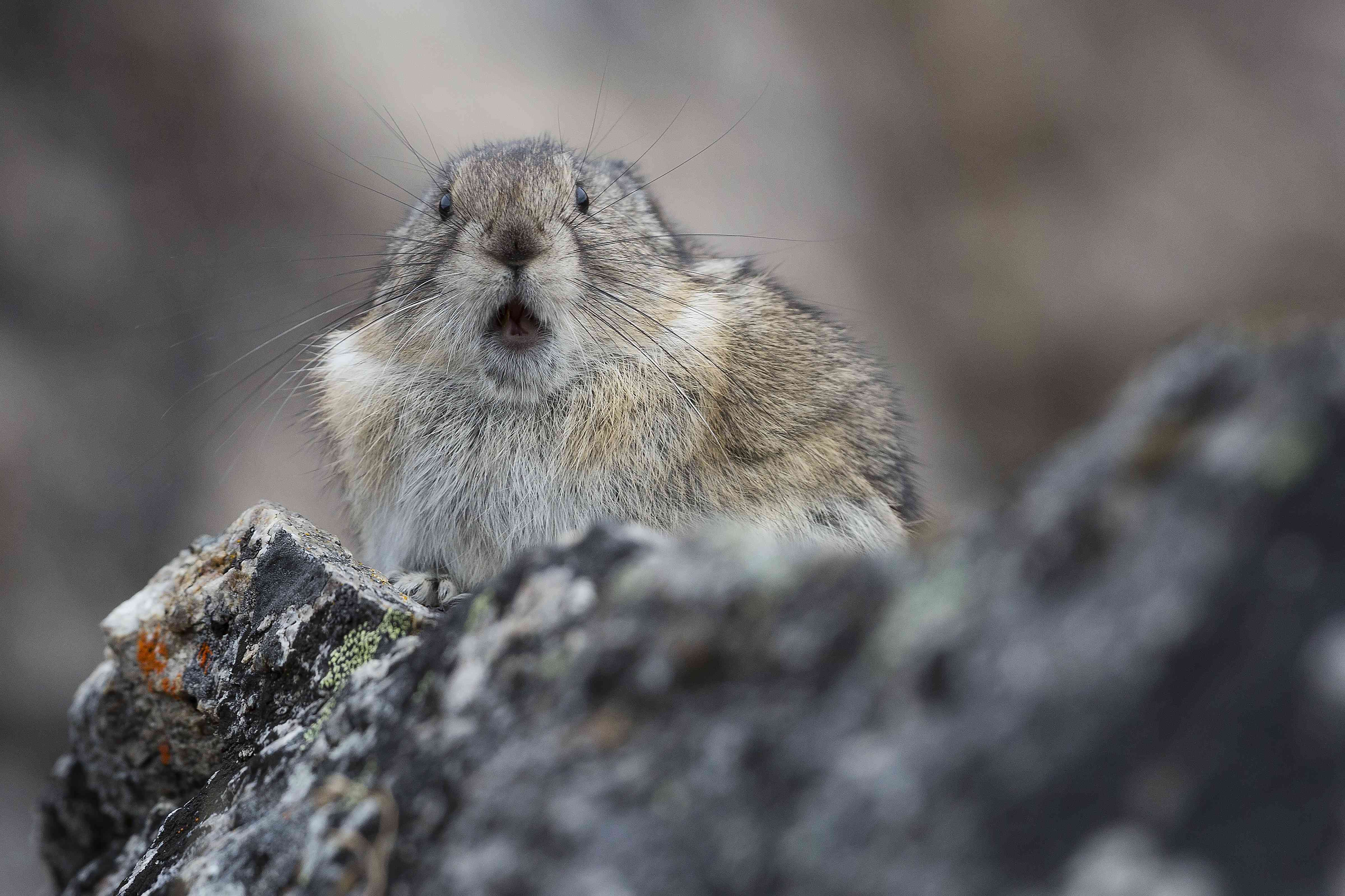Collared pika on a rock, with its mouth open