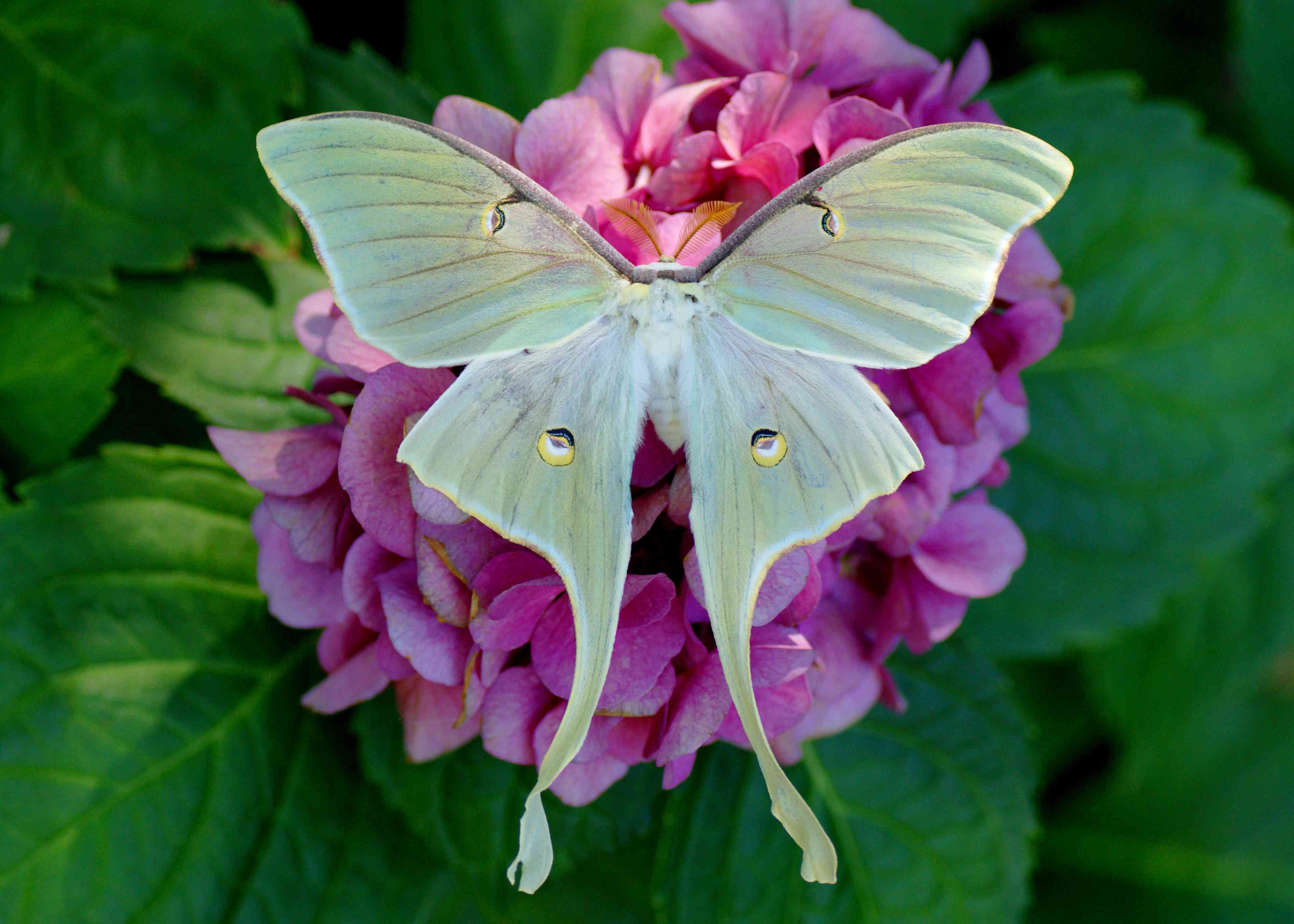 A light green moth with large wings sits on a pink flower