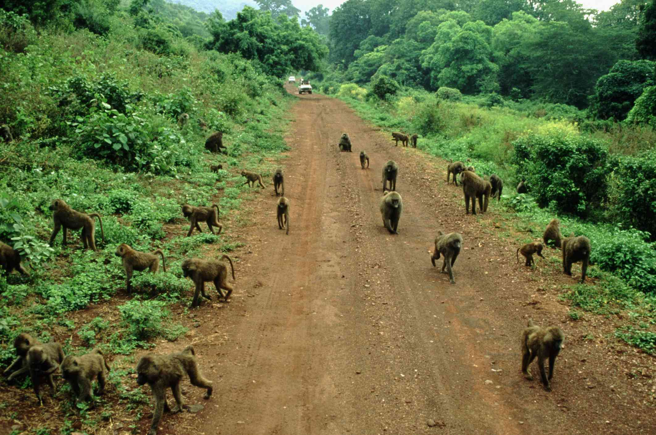 A troop of olive baboons in Lake Manyara National Park