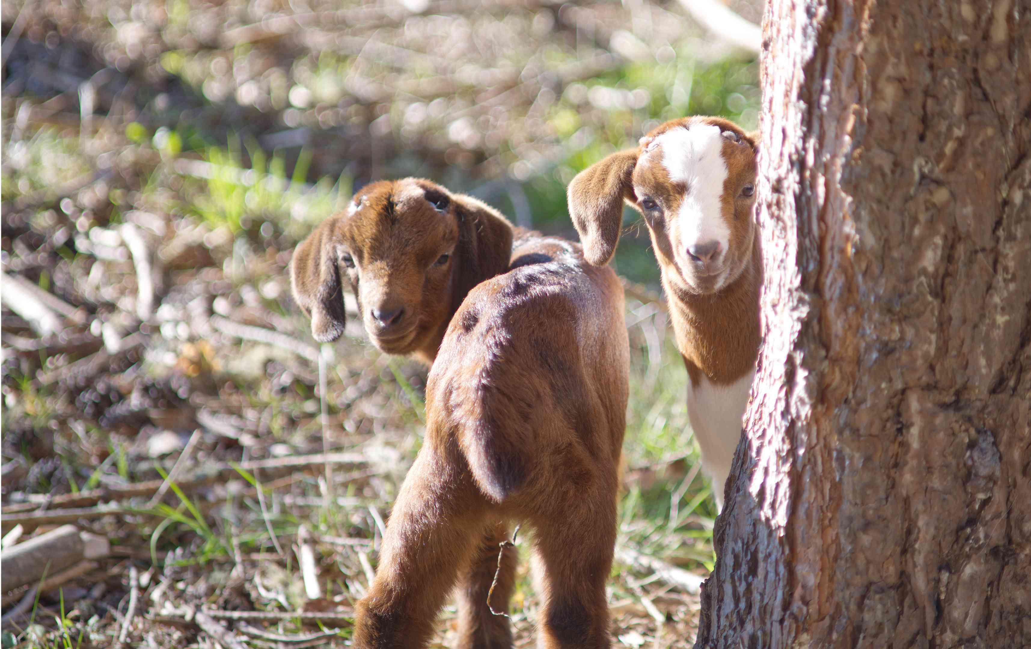 two brown baby goats hide behind tree and look back at camera