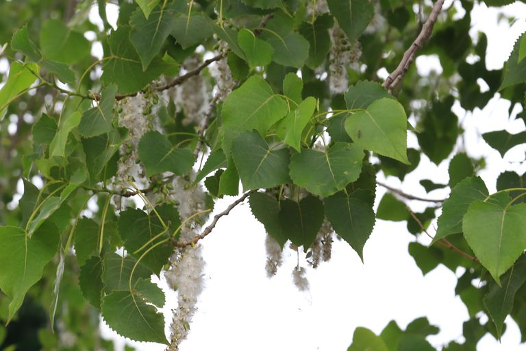 Cottonwood leaves and springtime pollen hanging off of tree.