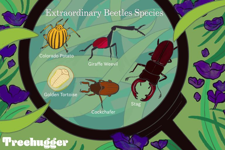 Extraordinary five types of beetle species under magnifying glass illo