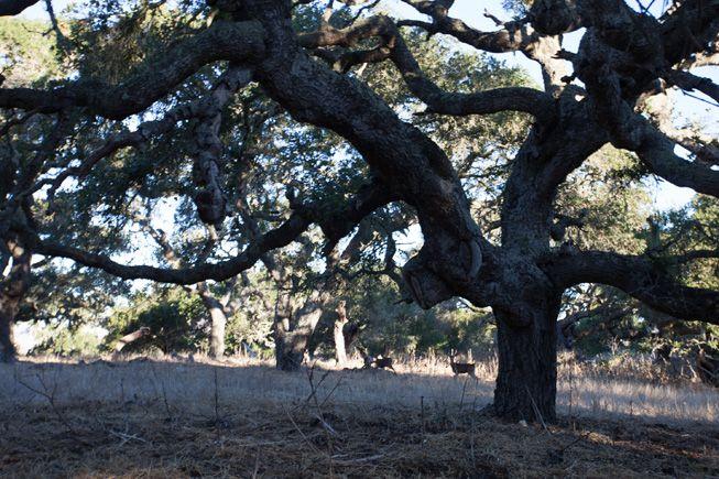 Deer scamper by a California live oak