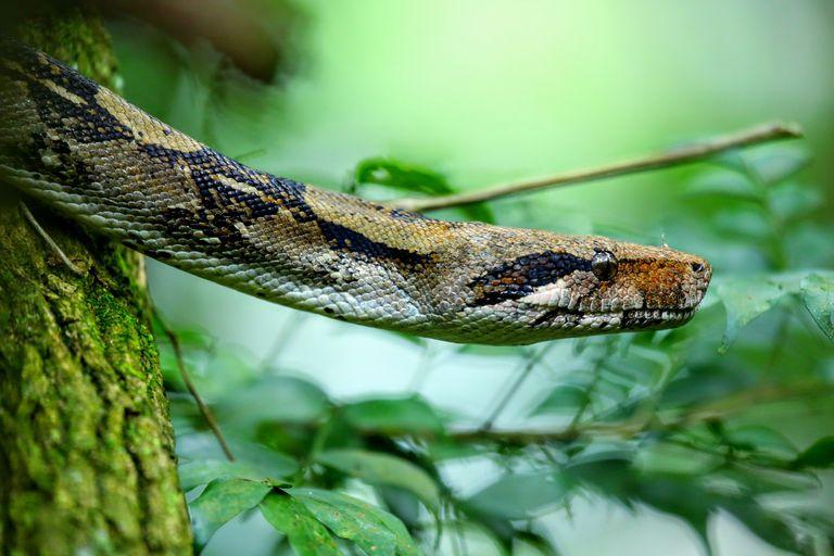 A boa constrictor slithers through Costa Rica's Rincón de la Vieja Volcano National Park.