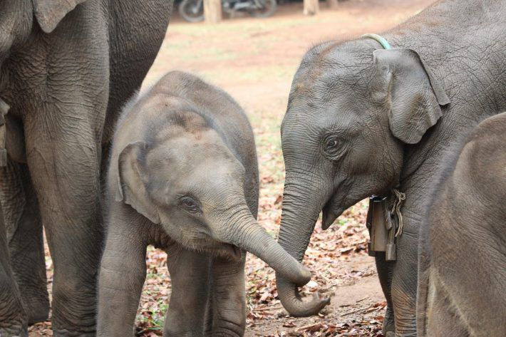 Asian elephant siblings