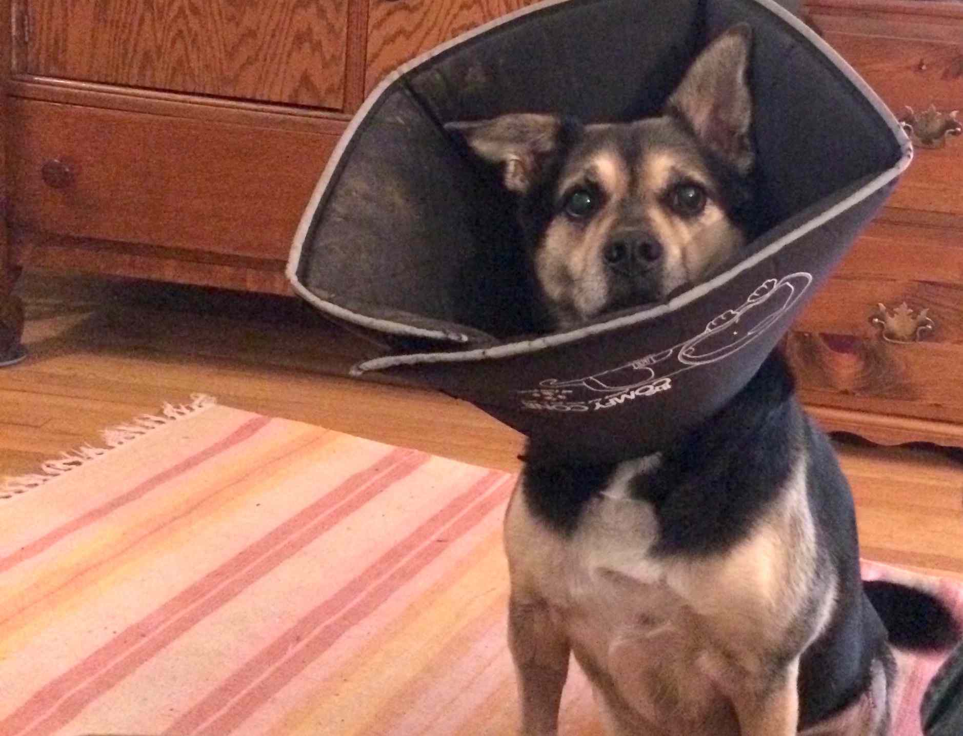 Otis, a mixed-breed rescue dog, wearing a cone