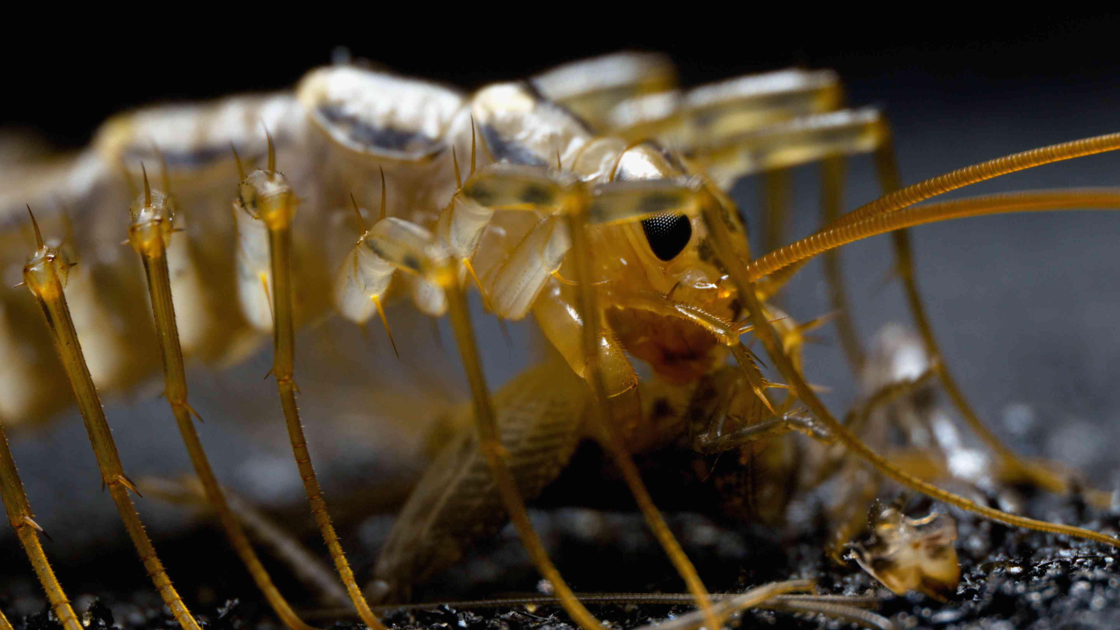 The House Centipede is one impressive creepy crawly worth marveling at
