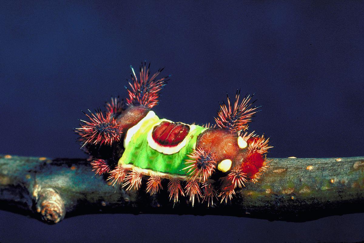 A saddleback caterpillar sits on a small branch.