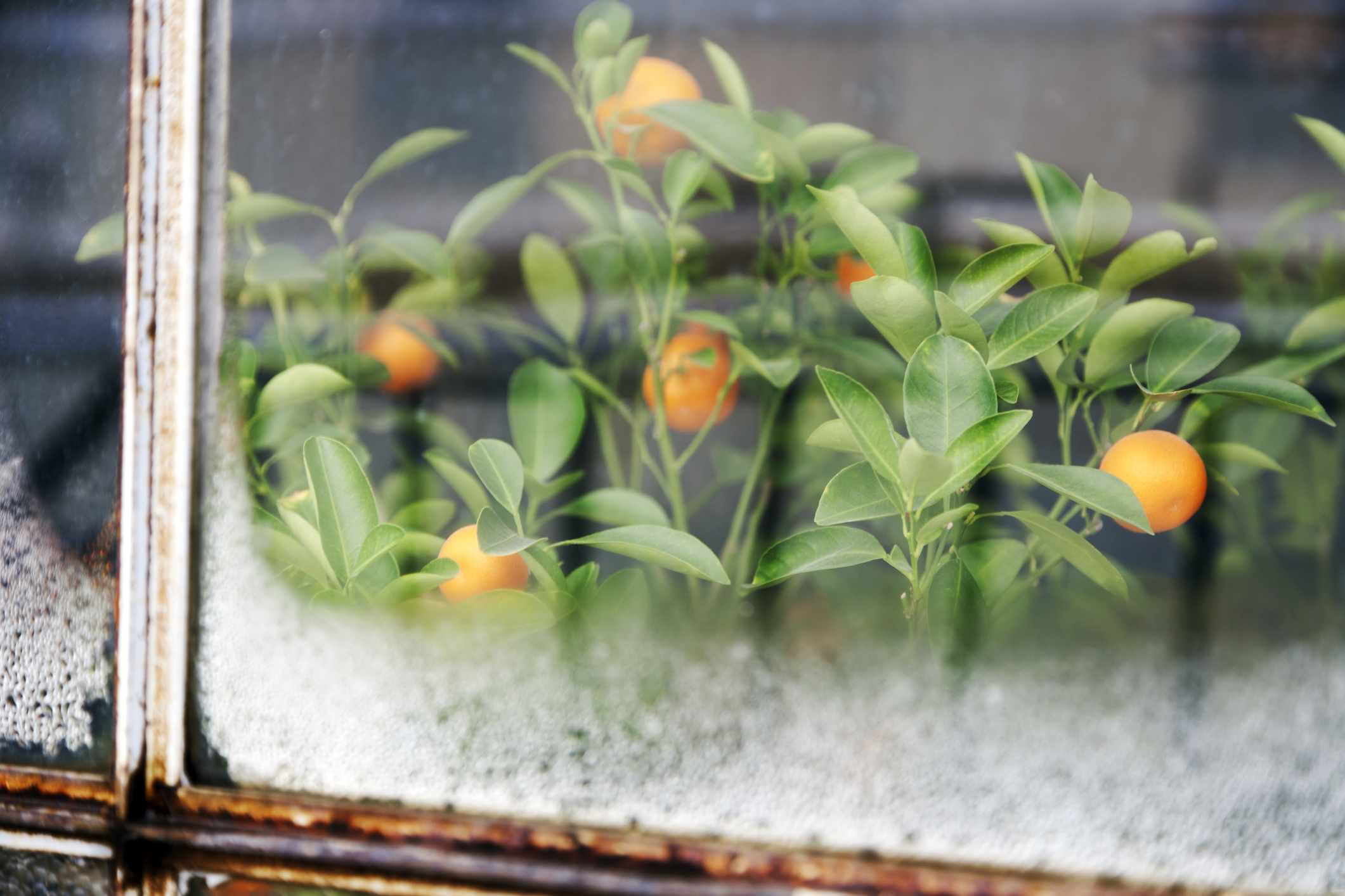 Calamondin tree beside frosty windowsill