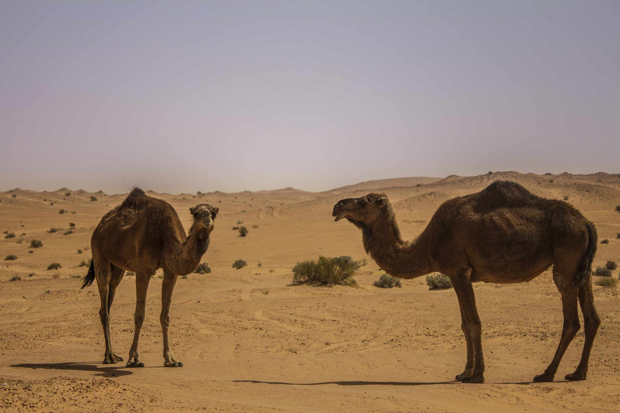 Pair of dromedary camels in the desert