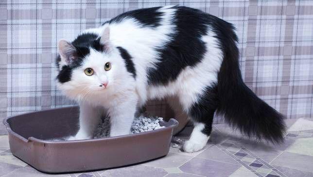 ¿Por qué mi gato orina fuera de la caja de arena?
