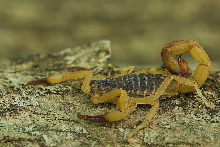 Las picaduras de escorpión son cada vez más frecuentes en Brasil