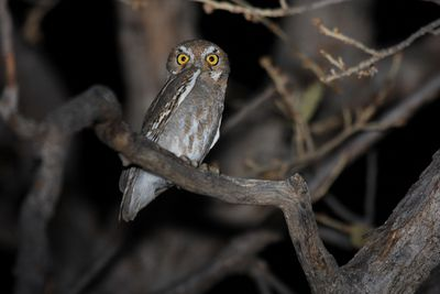 Elf owl with big yellow eyes in a tree with no leaves