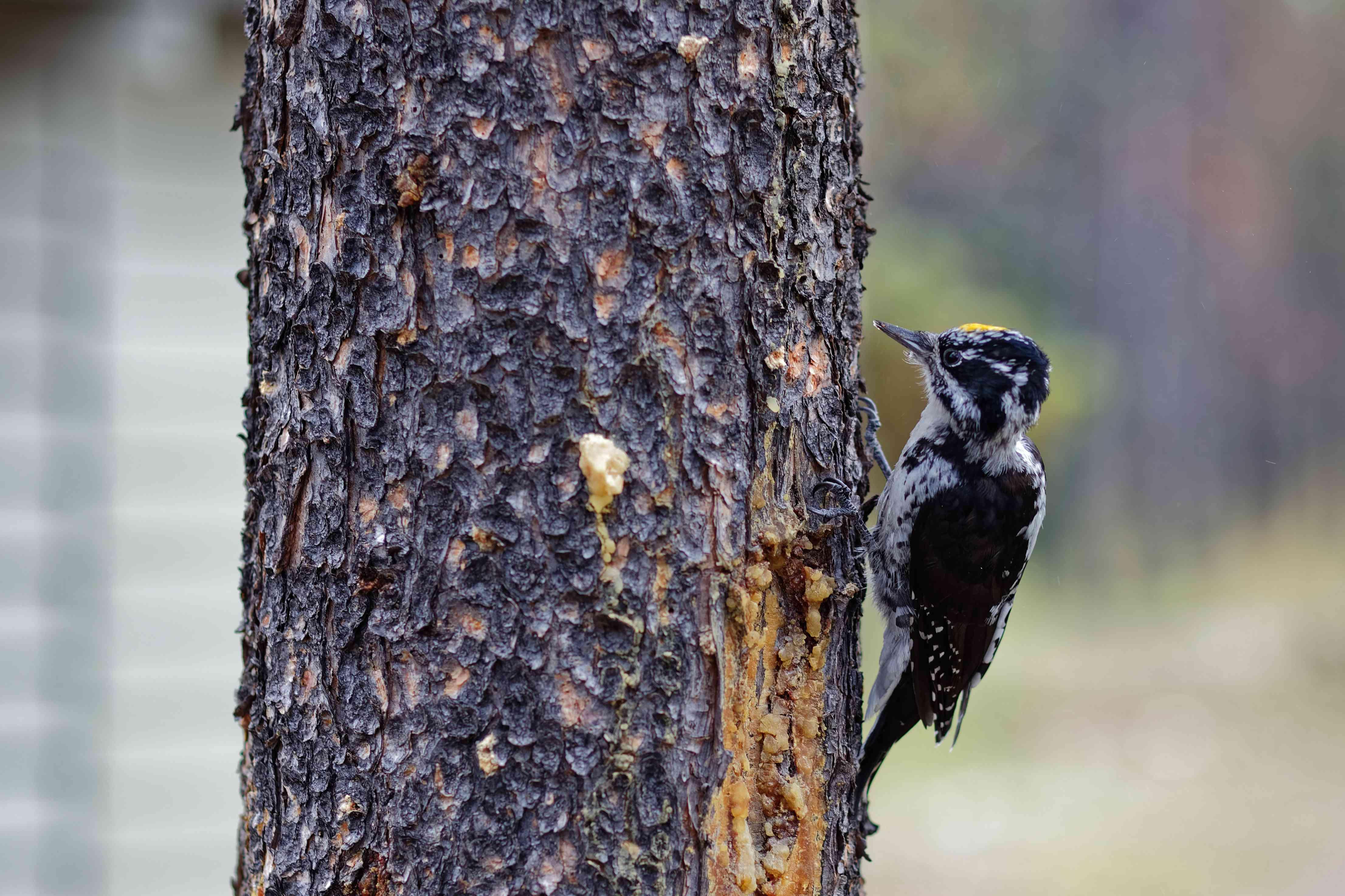 American three-toed woodpecker on a tree.