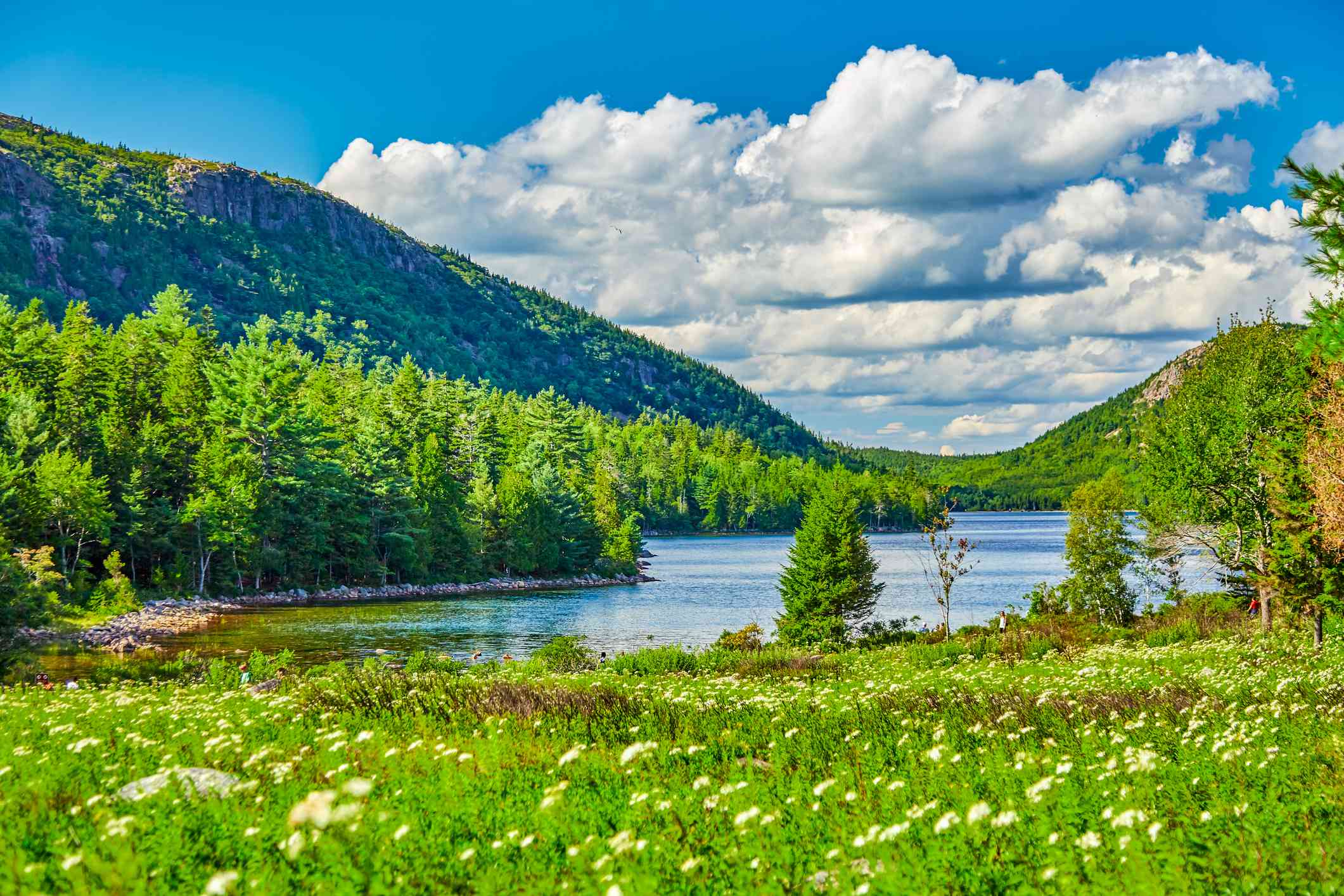 Jordan Pond at Acadia National Park with wildflowers in the foreground, green trees surrounding the lake, and hills in the background under blue skies with white clouds