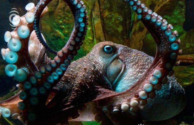 Inky the Octopus se escapa del acuario a través de un desagüe hacia el mar