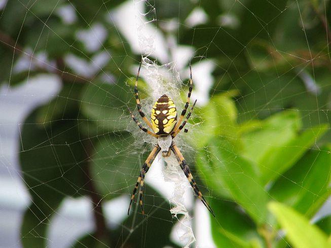 A garden spider Argiope aurantia sits in its web
