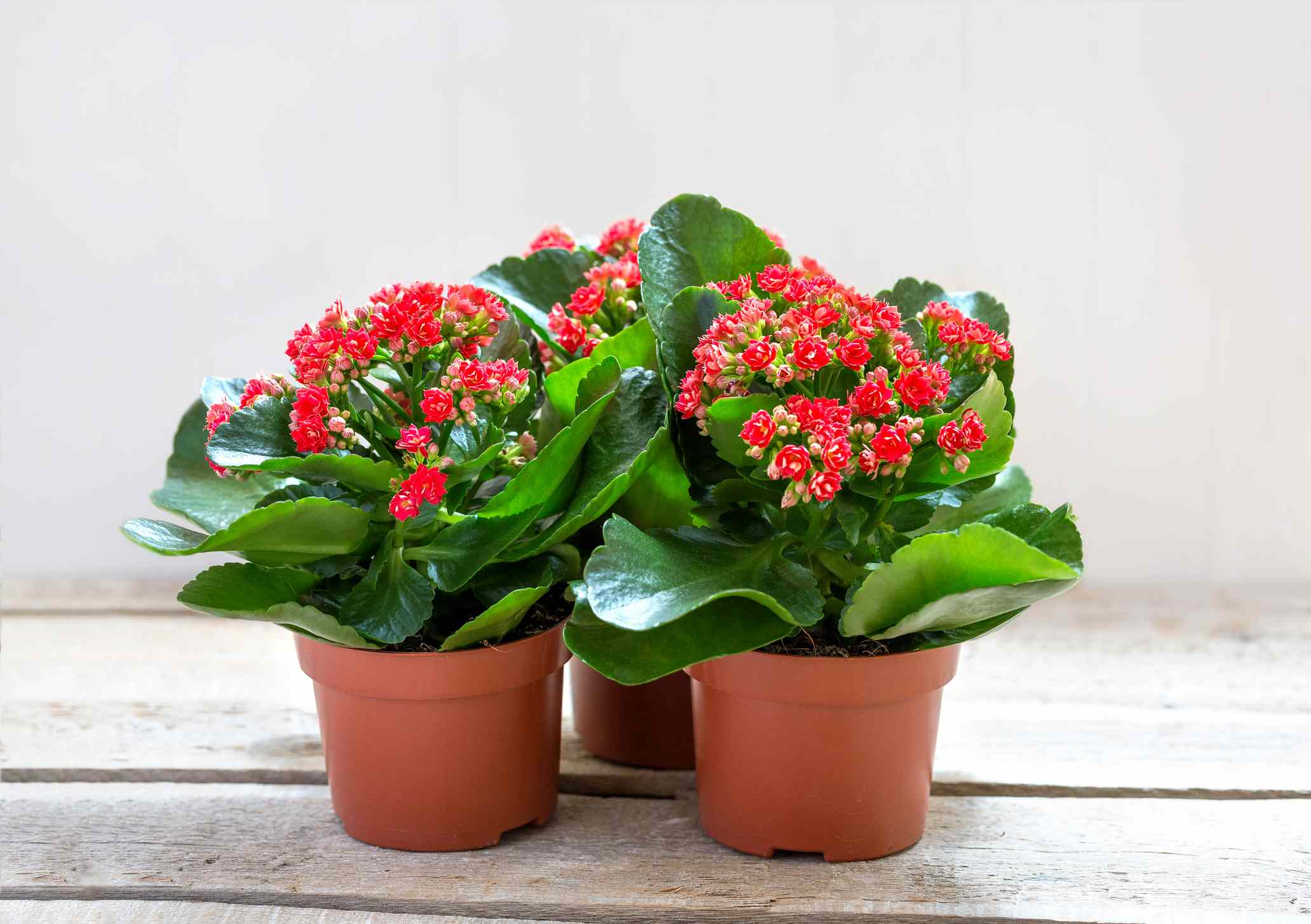 Red Kalanchoe flowers on a wooden background.