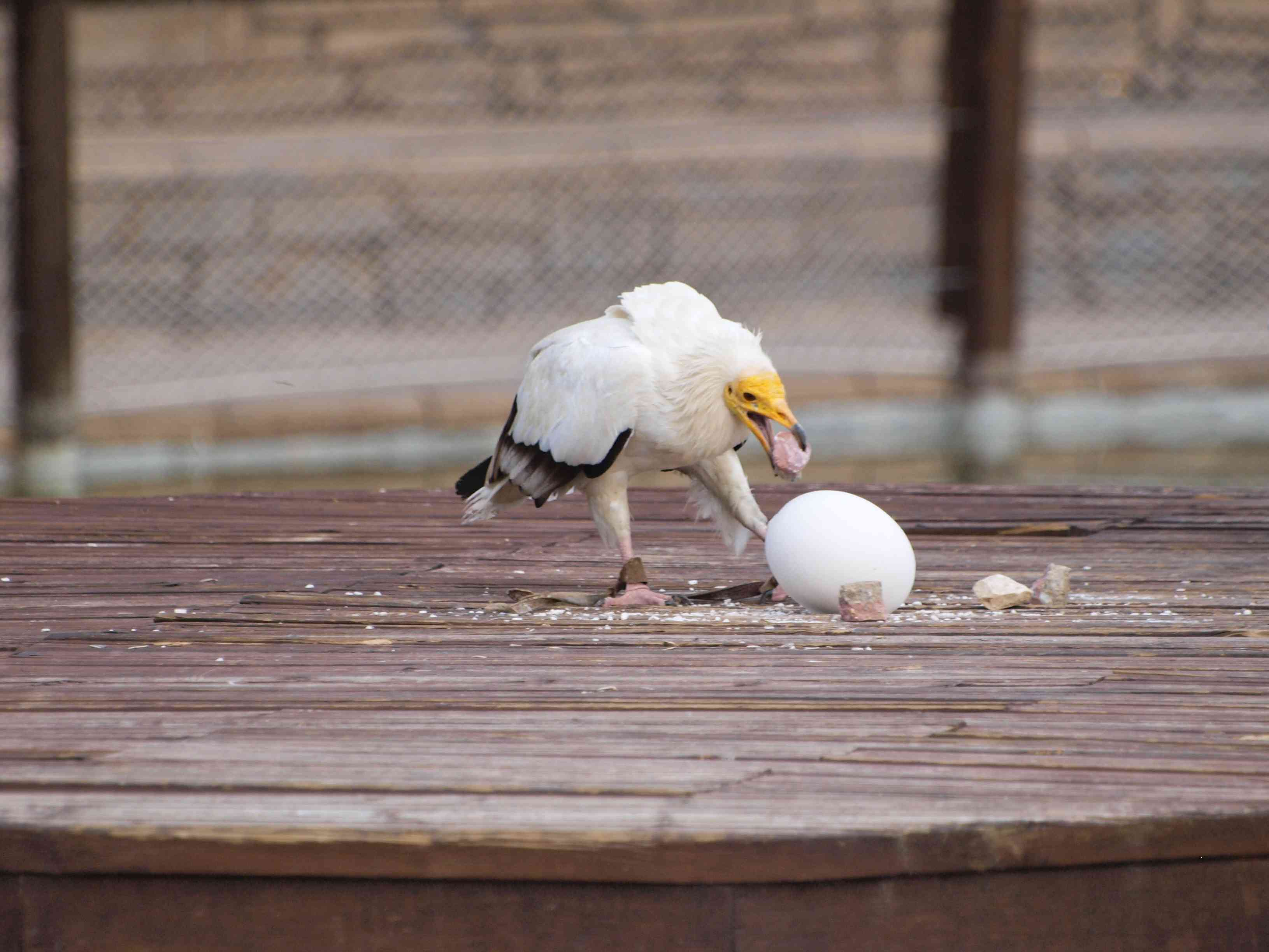 Egyptian Vulture breaking egg with a stone
