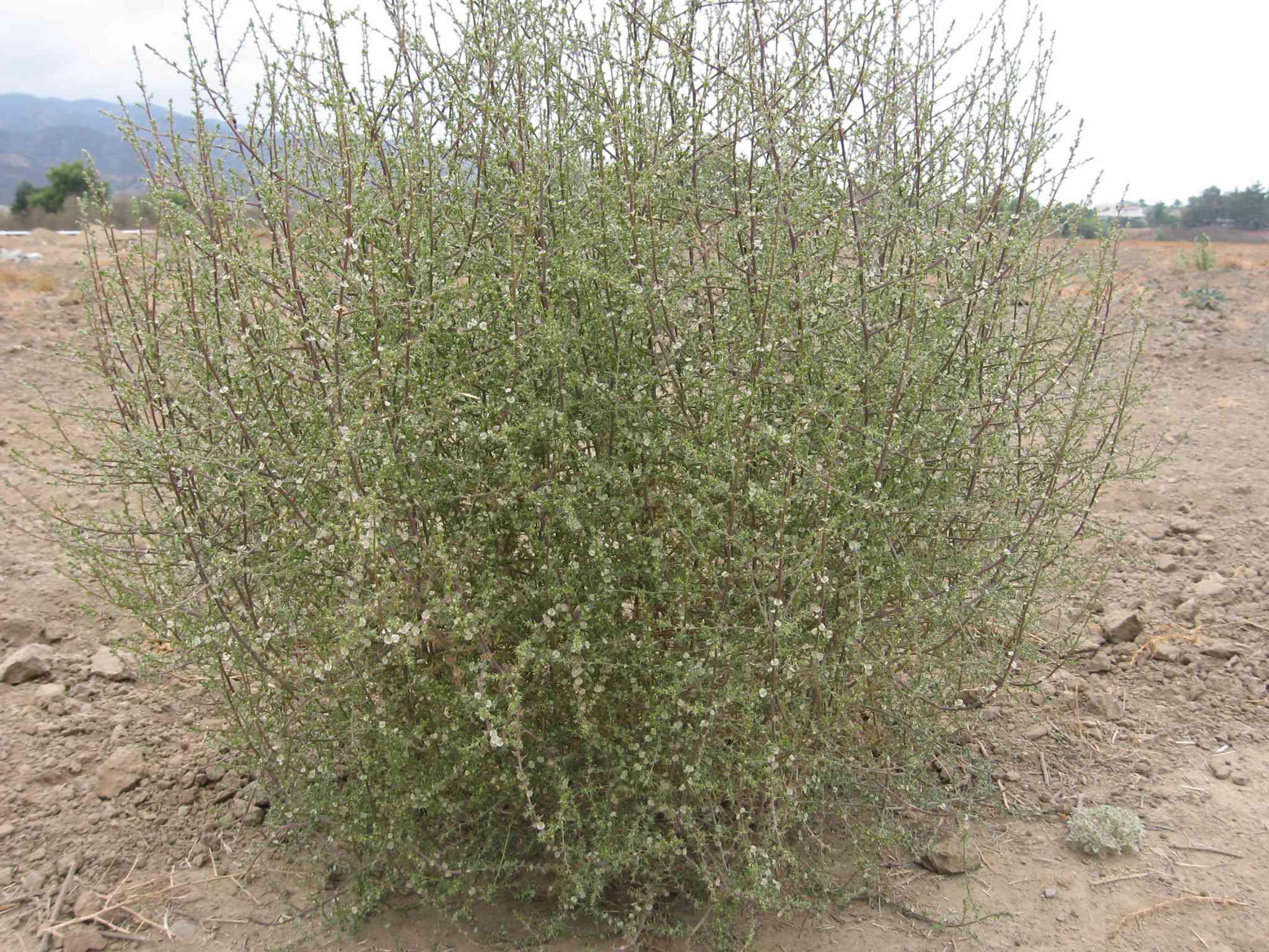 green tumbleweed